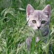 Grey Tabby Stalking Through The Grass — Stock Photo