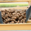 Potatoes at Harvest — Stock Photo