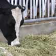 Holstein Heifer at Feeding Time — Stock Photo