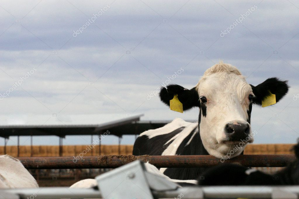 Black and white dairy holstein heifer — Stock Photo #7226751
