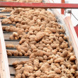 Conveyor of Harvested Potatoes — Stock Photo