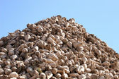Pile of Sugar Beets — Stock Photo
