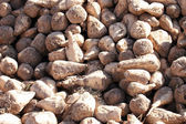 Sugar Beets — Stock Photo