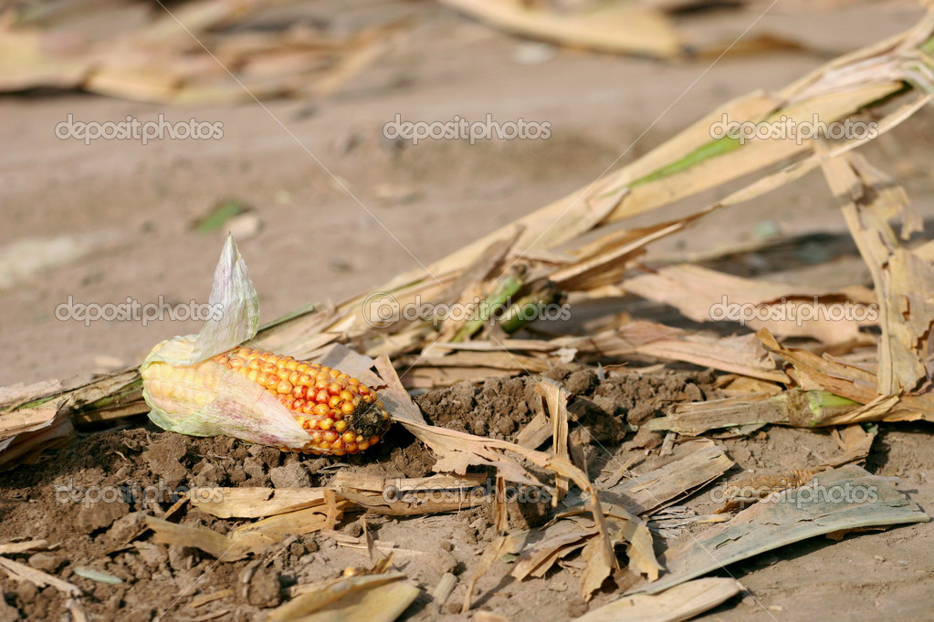 Corn cob left in the field during harvest — Stock Photo #7252050