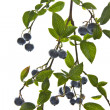 Blueberries on Branch — Photo