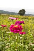 花的领域 — 图库照片