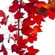 Stock Photo: Red Maple Leafs