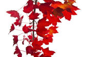 Red Maple Leafs — Stock Photo