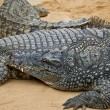 Crocodiles — Stock Photo #6972925