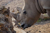 Rhinoceros — Stockfoto