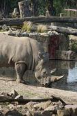 Rhinoceros drinking water — Stock Photo