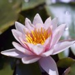 Hardy Water Lily — Stock Photo