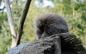 New World Porcupine — Stock Photo