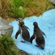 Magellanic Penguins — Stock Photo