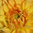 Yellow Chrysanthemum — Stock Photo #7322338