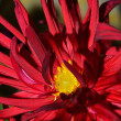 Red Chrysanthemum flower — Stock Photo
