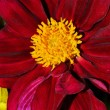Stock Photo: Red Chrysanthemum flower