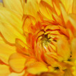 Yellow Chrysanthemum — Stock Photo