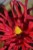 Kırmızı krizantem çiçeği — Stok fotoğraf