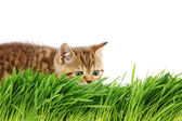 Cat behind grass — Stock Photo