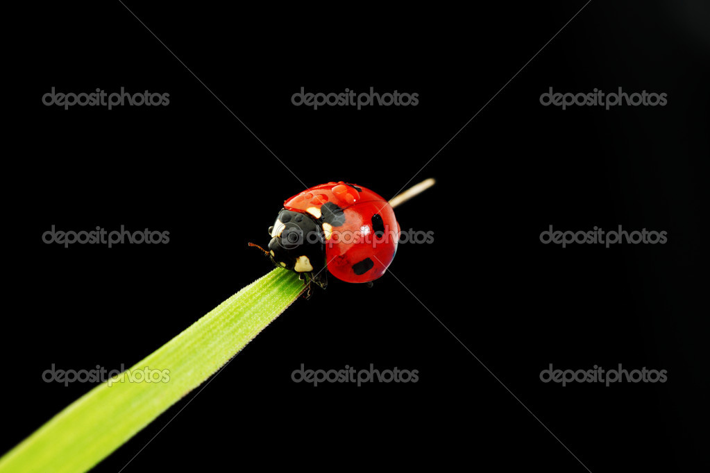 Ladybug on grass isolated black background  Stock Photo #6752925