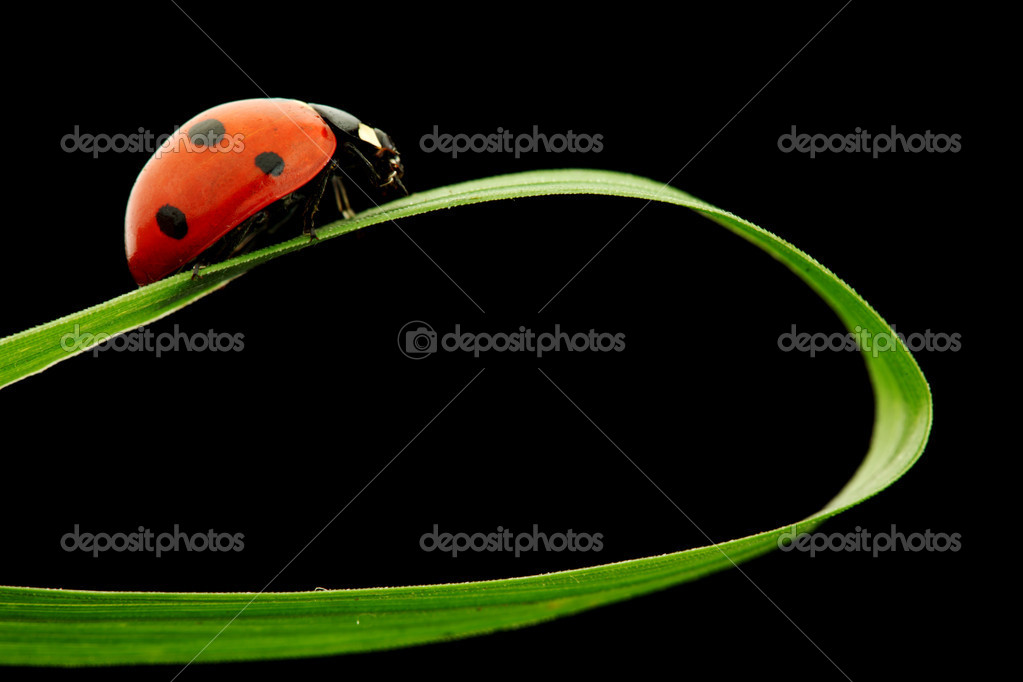 Ladybug on grass isolated black background — Stock Photo #6752934