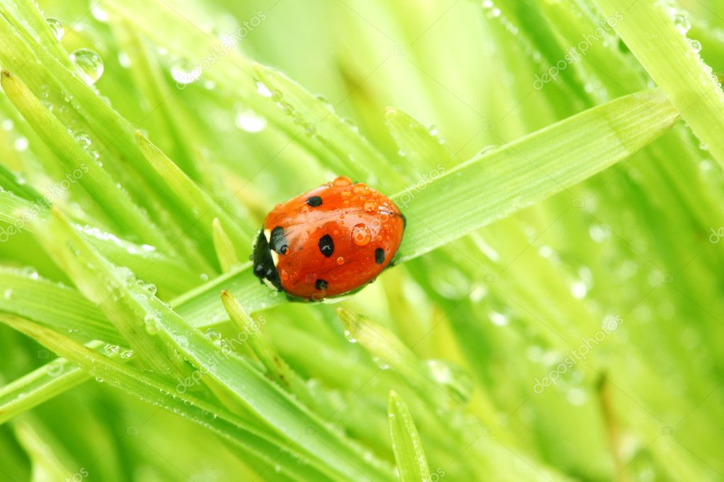 Ladybug on grass in water drops — Stock Photo #6753667
