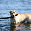Dog play in water - Stock Photo