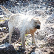 Stock Photo: Dog play in water