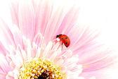 Ladybug on pink flower — Stock Photo