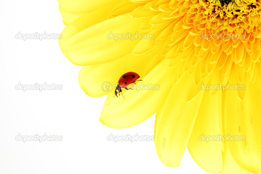 Ladybug on yellow flower isolated on white background — Stock Photo #6848173