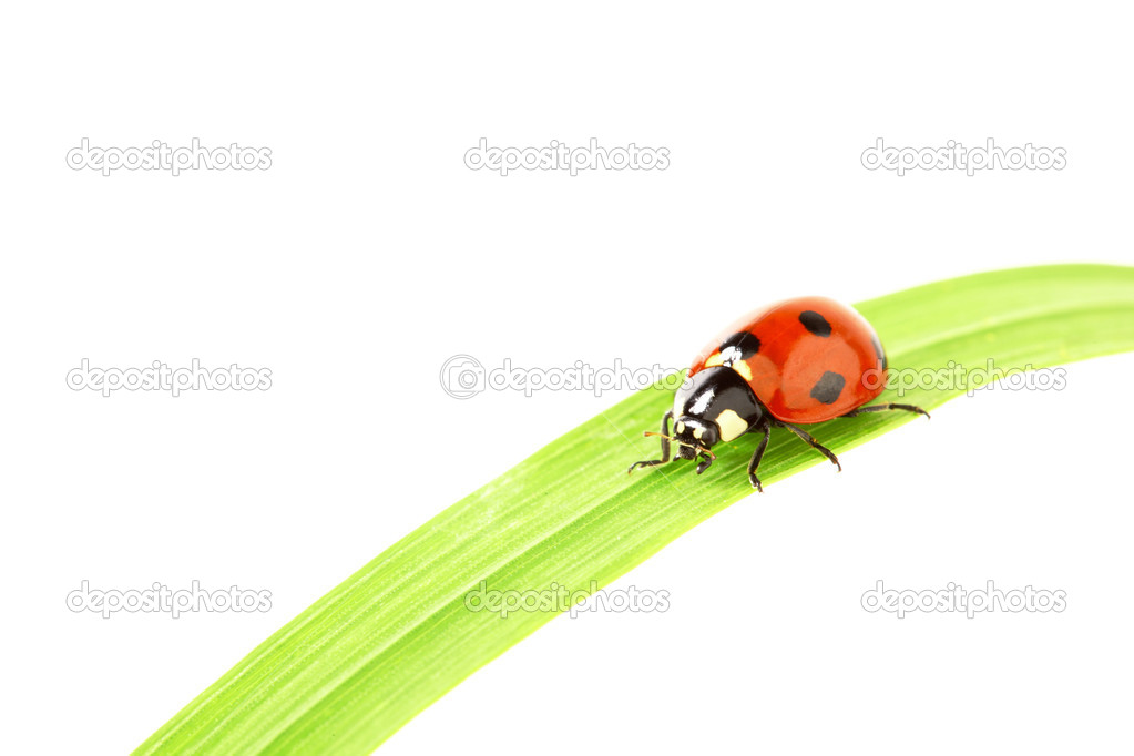 Ladybug on green grass isolated white background — Stock Photo #6848661