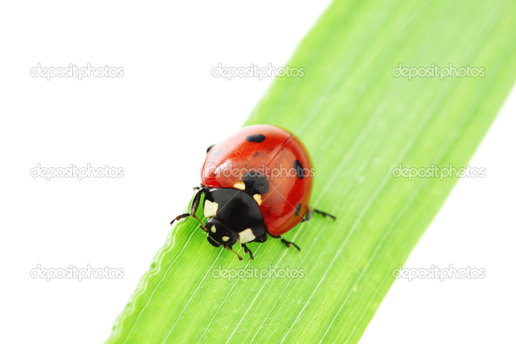 Ladybug on green grass isolated white background — Stock Photo #6848682