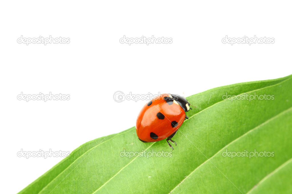 Ladybug on leaf isolated on white — Stock Photo #6849078