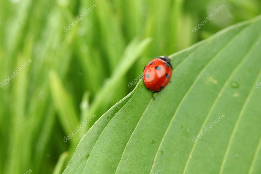 Ladybug on leaf isolated on white — Stock Photo #6849083