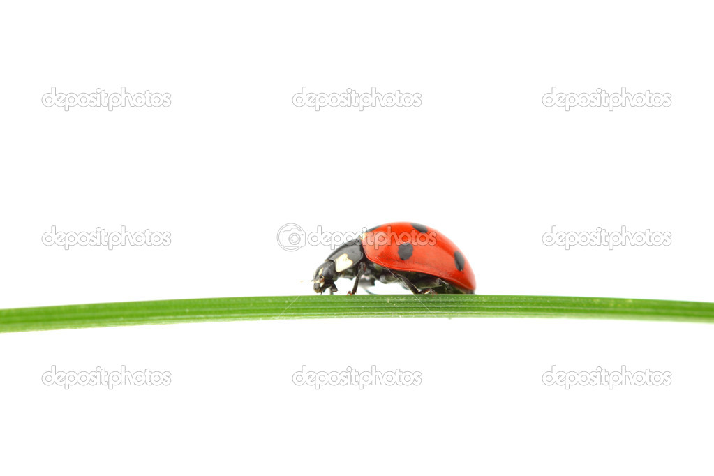 Ladybug on grass isolated macro — Stock Photo #6849089