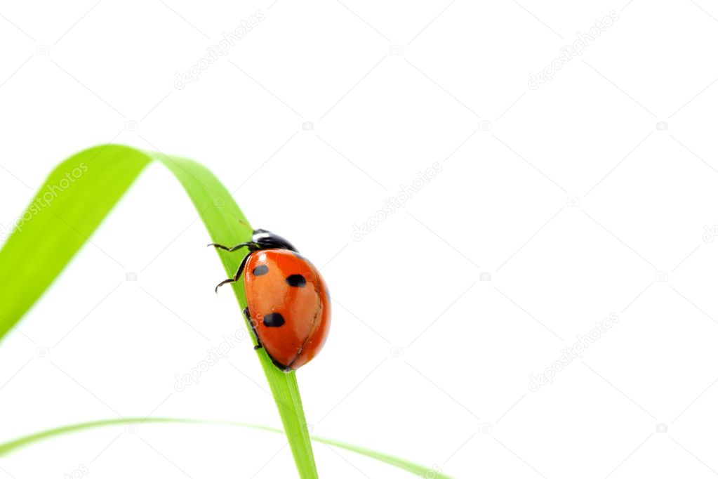 Ladybug on grass isolated macro — Stock Photo #6849106