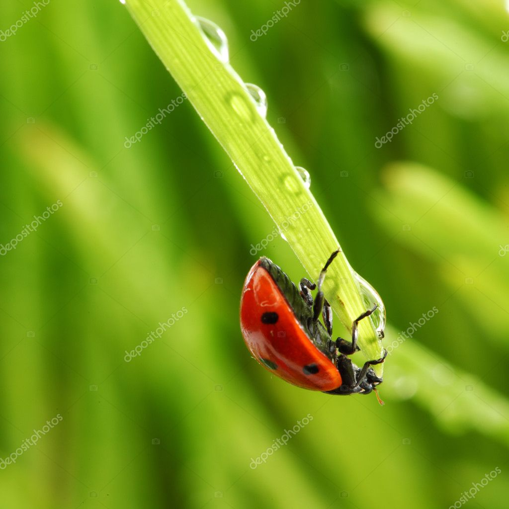 Ladybug on grass in water drops — Stock Photo #6849360