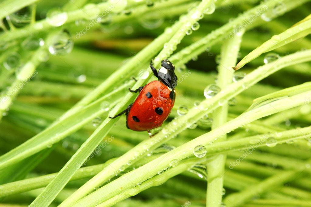 Ladybug on grass in water drops  Stock Photo #6849376