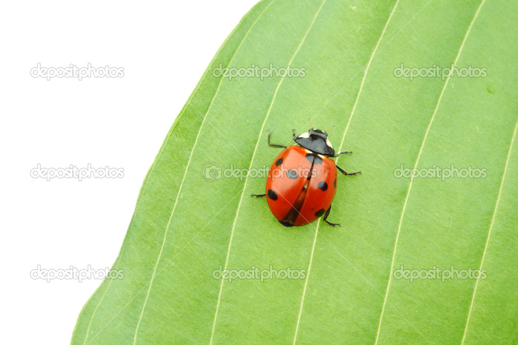Ladybug on big green leaf — 图库照片 #6849387