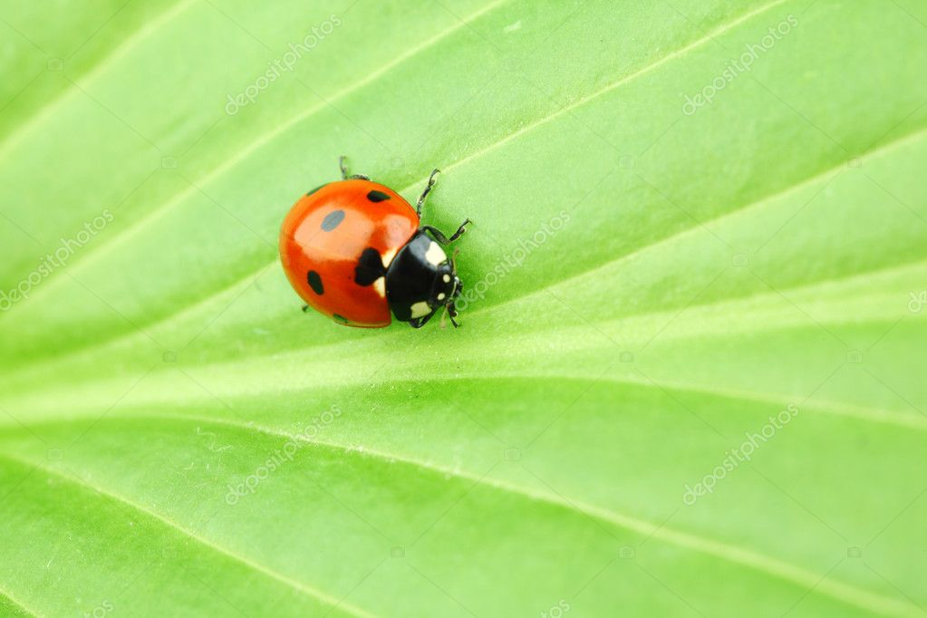 Ladybug on big green leaf — Stock Photo #6849398