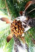 Date palm tree — Stock Photo