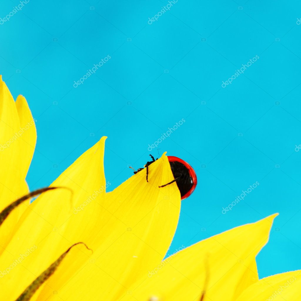 Ladybug on sunflower blue background — Stock Photo #6850092