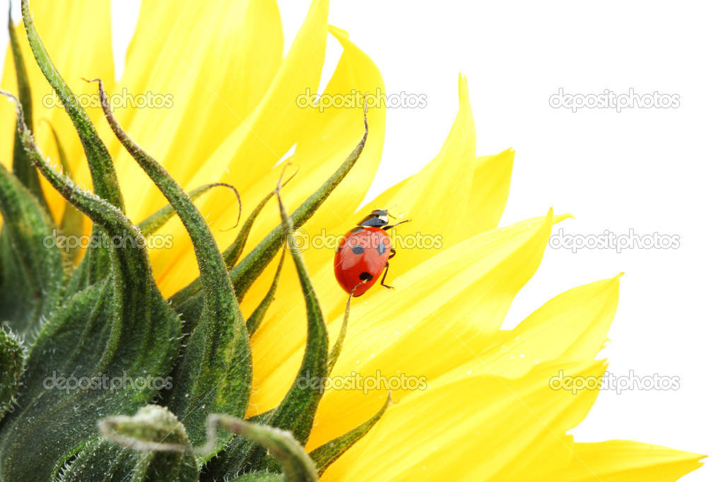 Ladybug on sunflower isolated white background — Stock Photo #6850108