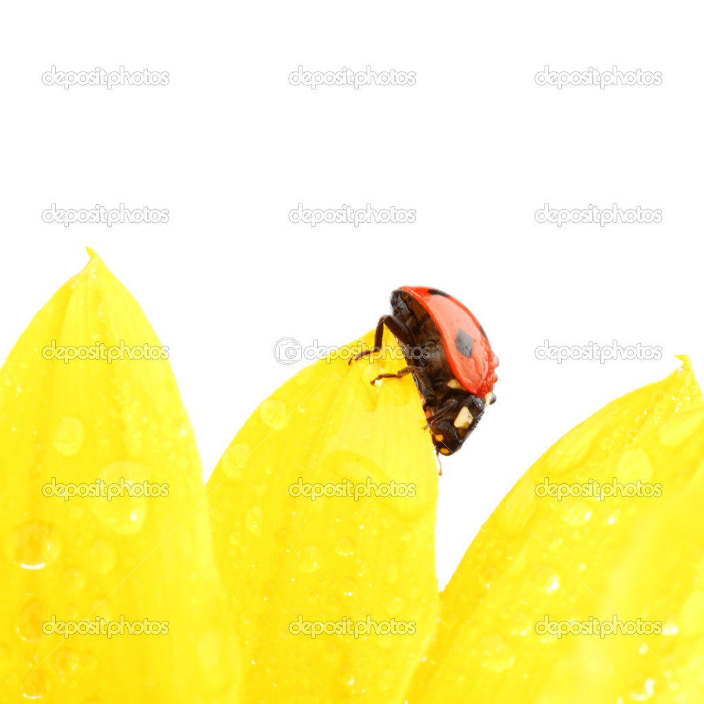 Ladybug on sunflower isolated white background — Stock Photo #6850113