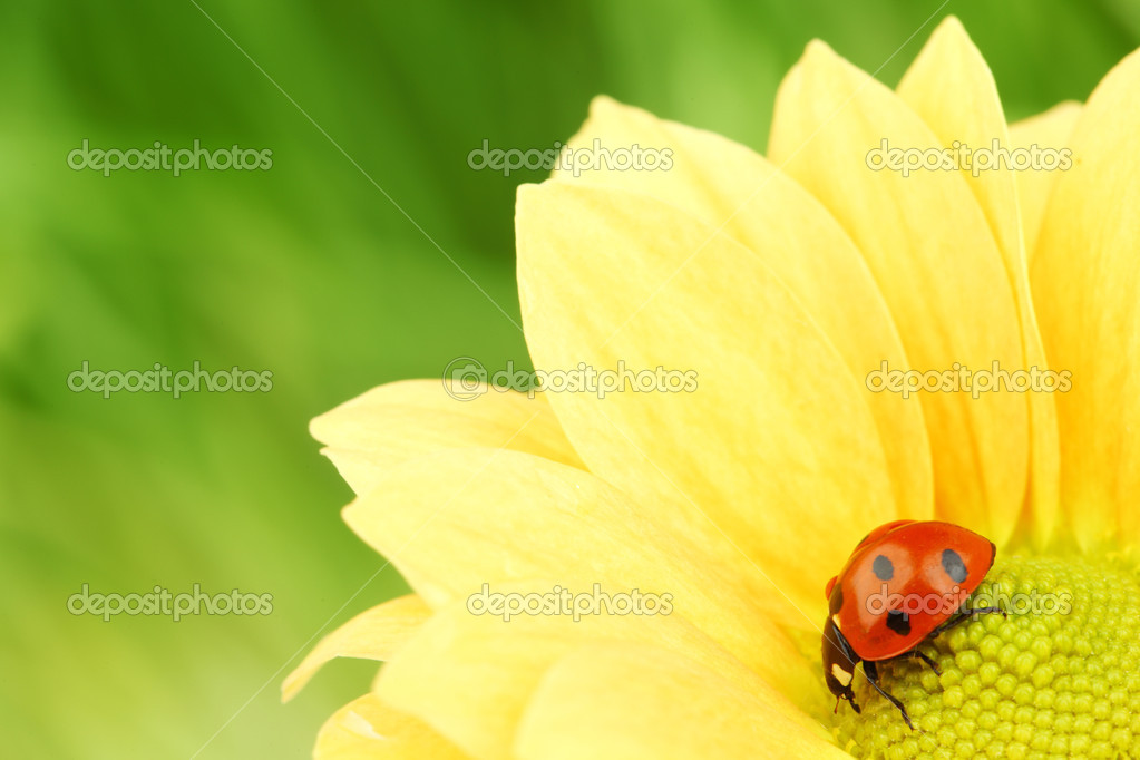 Ladybug on yellow flower grass on background — Stock Photo #6850242