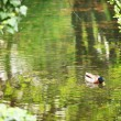 Duck in a pond - Photo