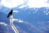 Mountains starling bird — Stock Photo