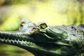 Gavial crocodile — Stock Photo