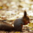 Squirrel in autumn forest — Stock Photo #6932355